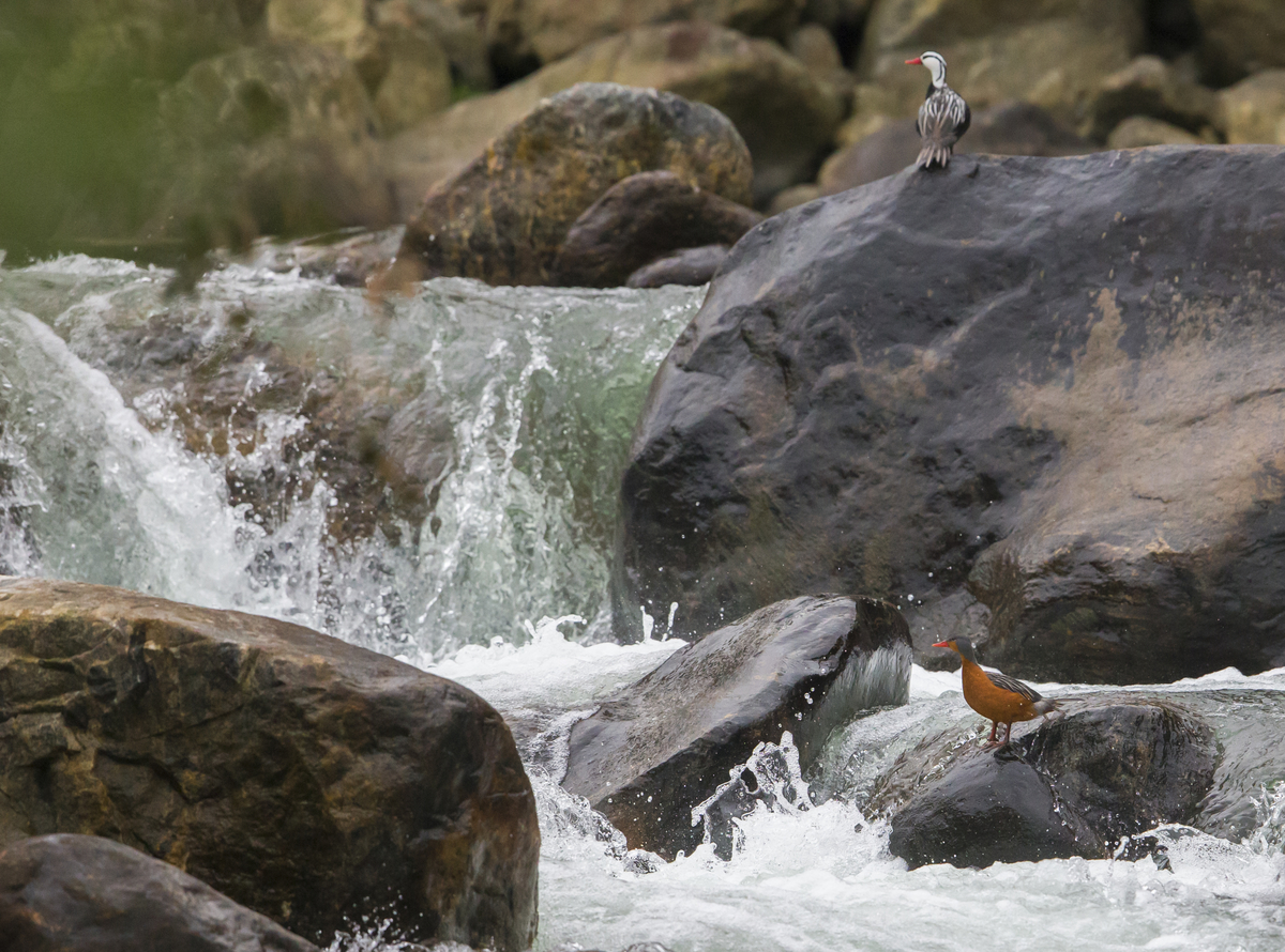 Pair of Trrent Ducks