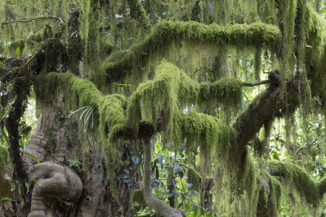 Moss covers all the branches in the Southern Yungas forest