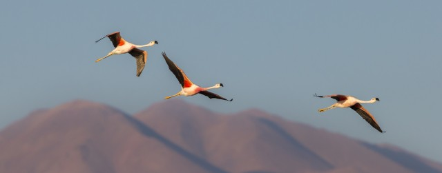 Three Andean Flamingoes, over the Chilean andes.