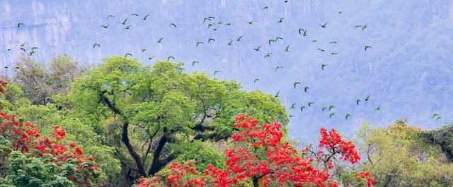 Parrots over the Yungas