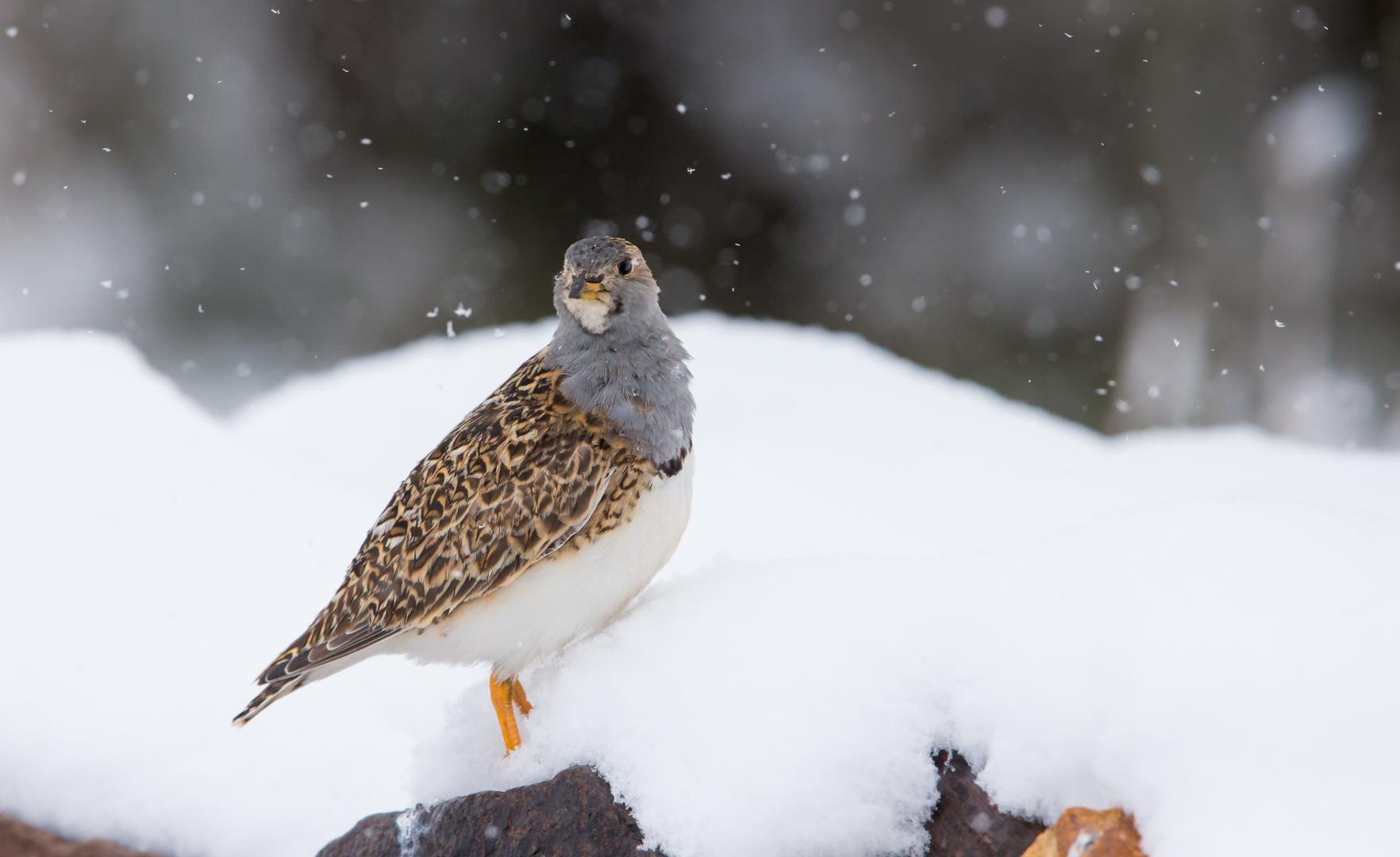 Snowy Seedsnipe