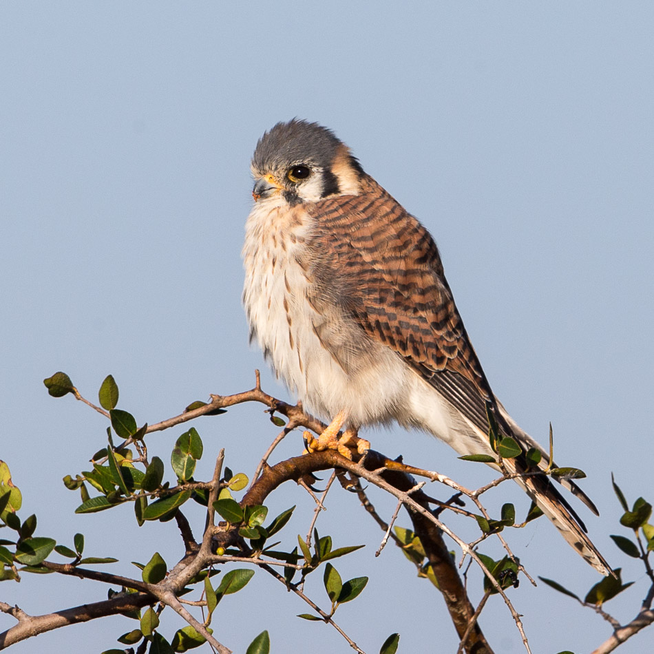 Female American Kestrel