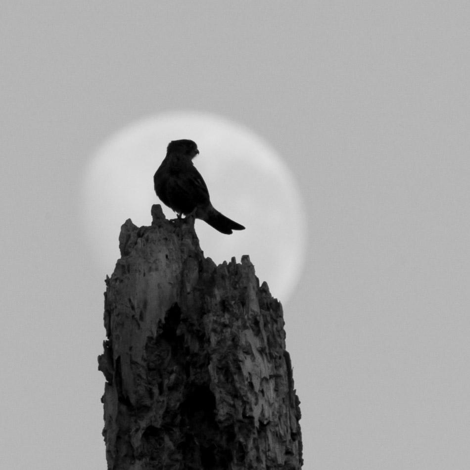 American Kestrel and moon-1