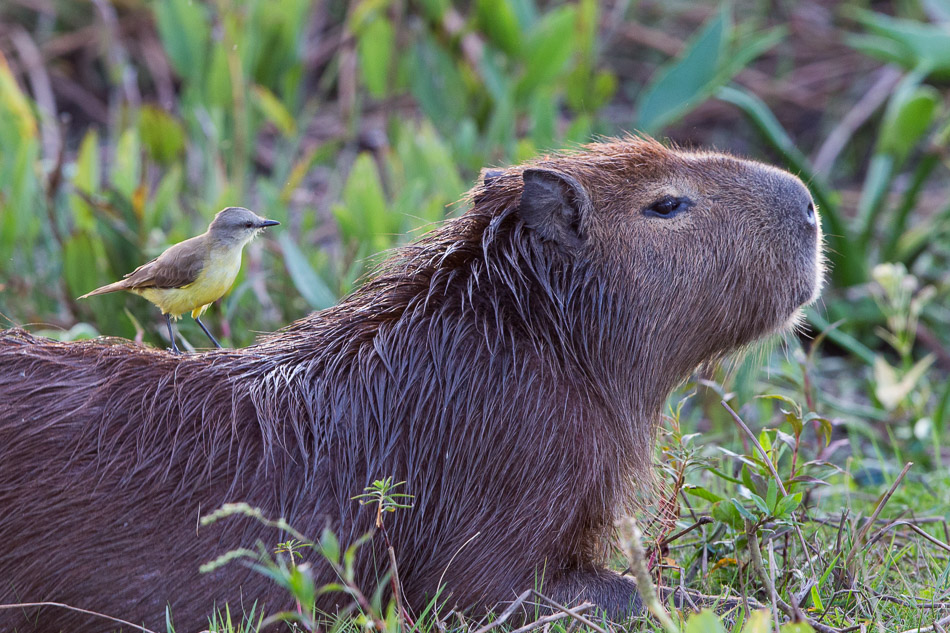 Capybara with Cattle Tyrant.