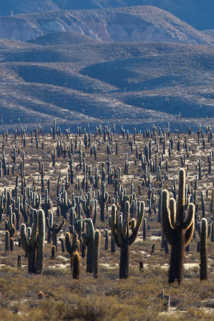 Cardon landscape -1