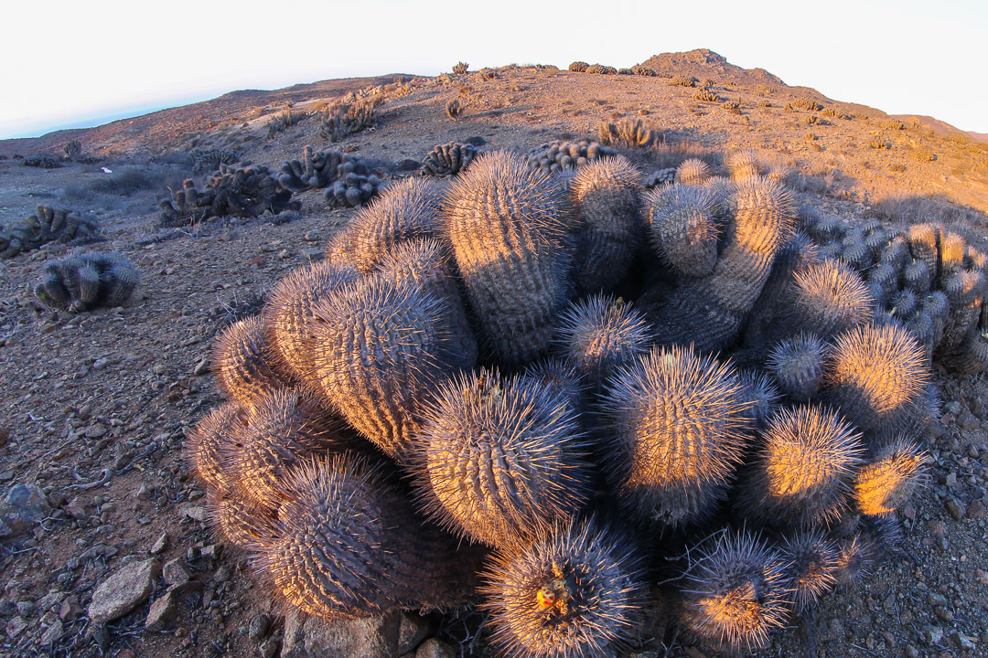 Copiapoa cinerea, coastal Atacama desert, Chile.