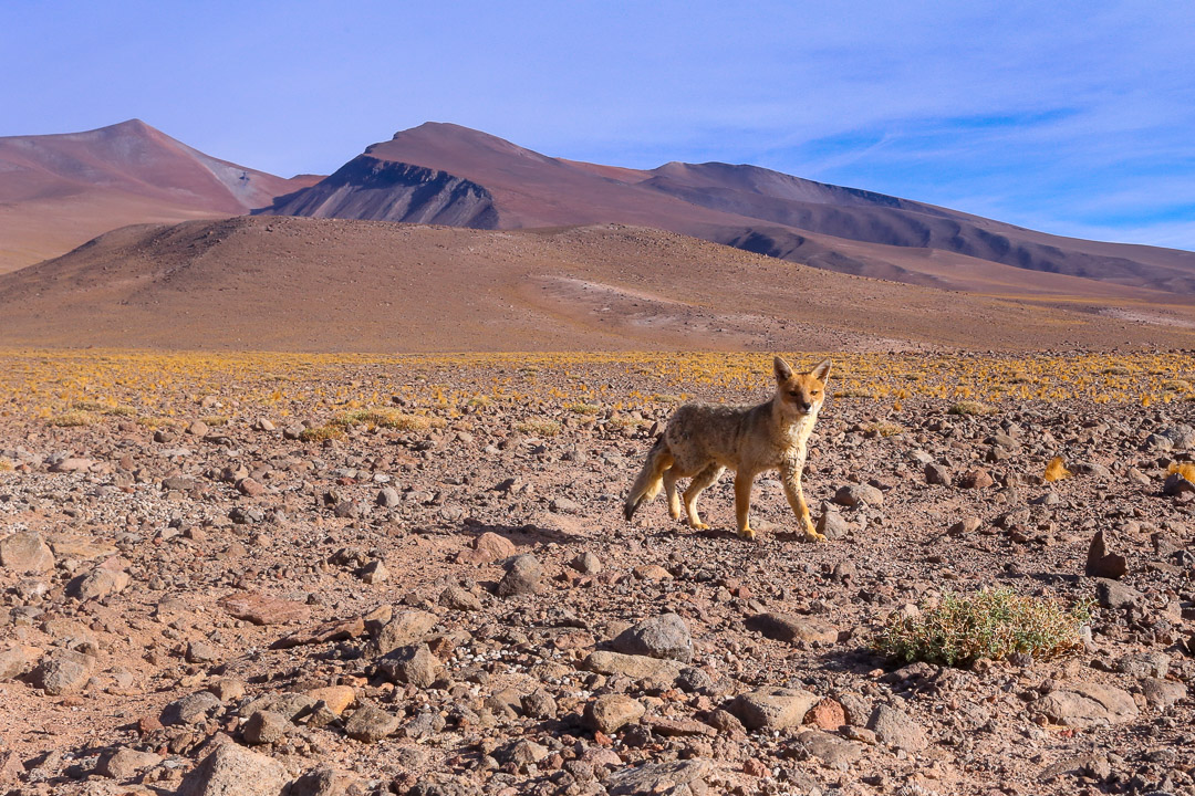 Culpeo fox in the Andes, Chile.