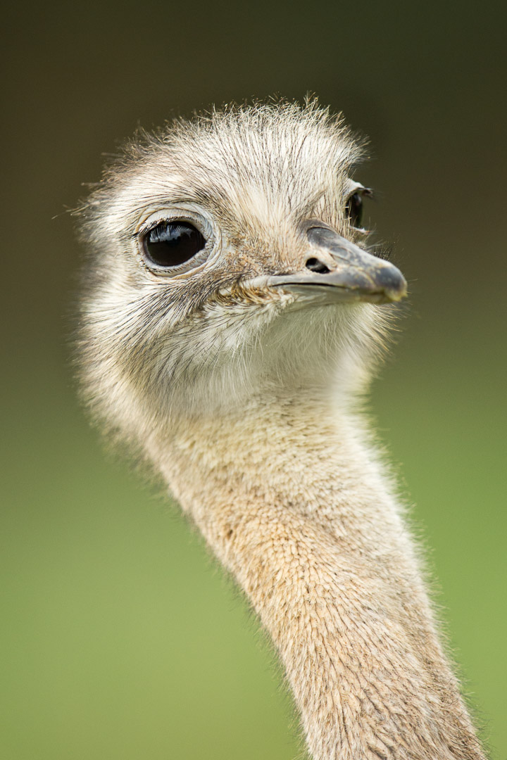 Darwin's Rhea, also known as the Lesser Rhea, is a large flightless bird, but the smaller of the two extant species of rheas. It is found in the Altiplano and Patagonia in South America
