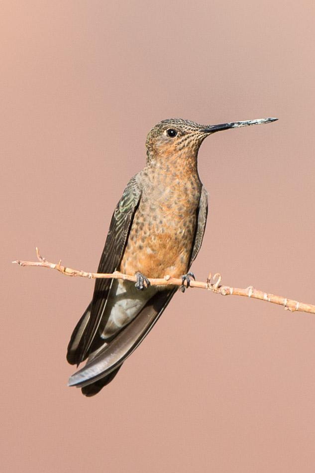 Giant Hummingbird-1