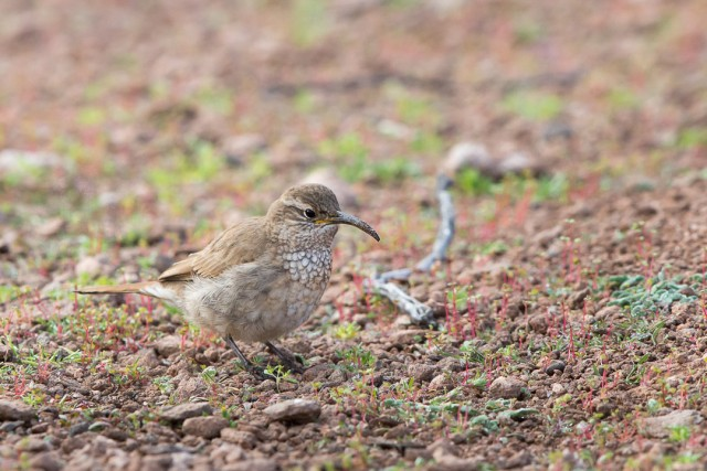 Scale-throated Earthcreeper, Susques, Argentina.