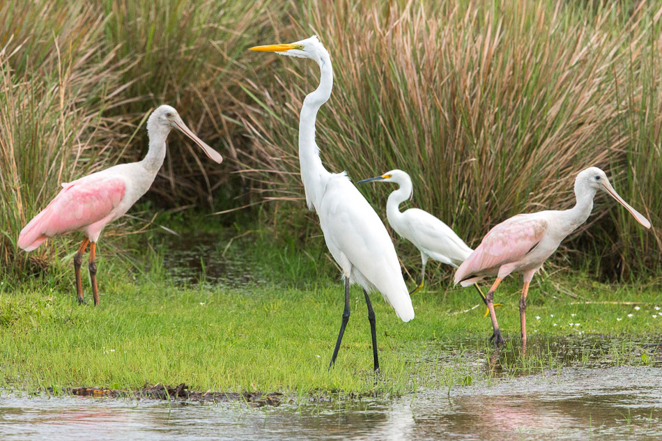 Great and Snowy Egrets & Roseate Spoonbills.