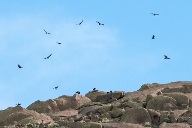 Turkey Vultures over the Lihue Calel National Park-1