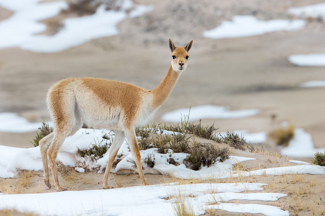 Vicuna in snow,May, Laguna Blanca,Argentina.