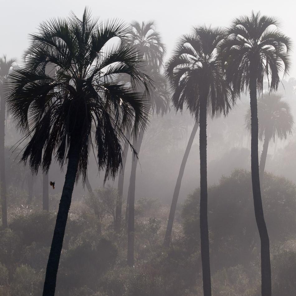 Yatay Palm trees