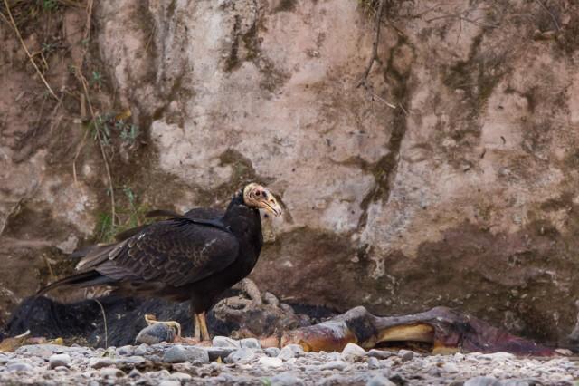 Lesser Yellow-headed Vulture, Salta province, Argentina.
