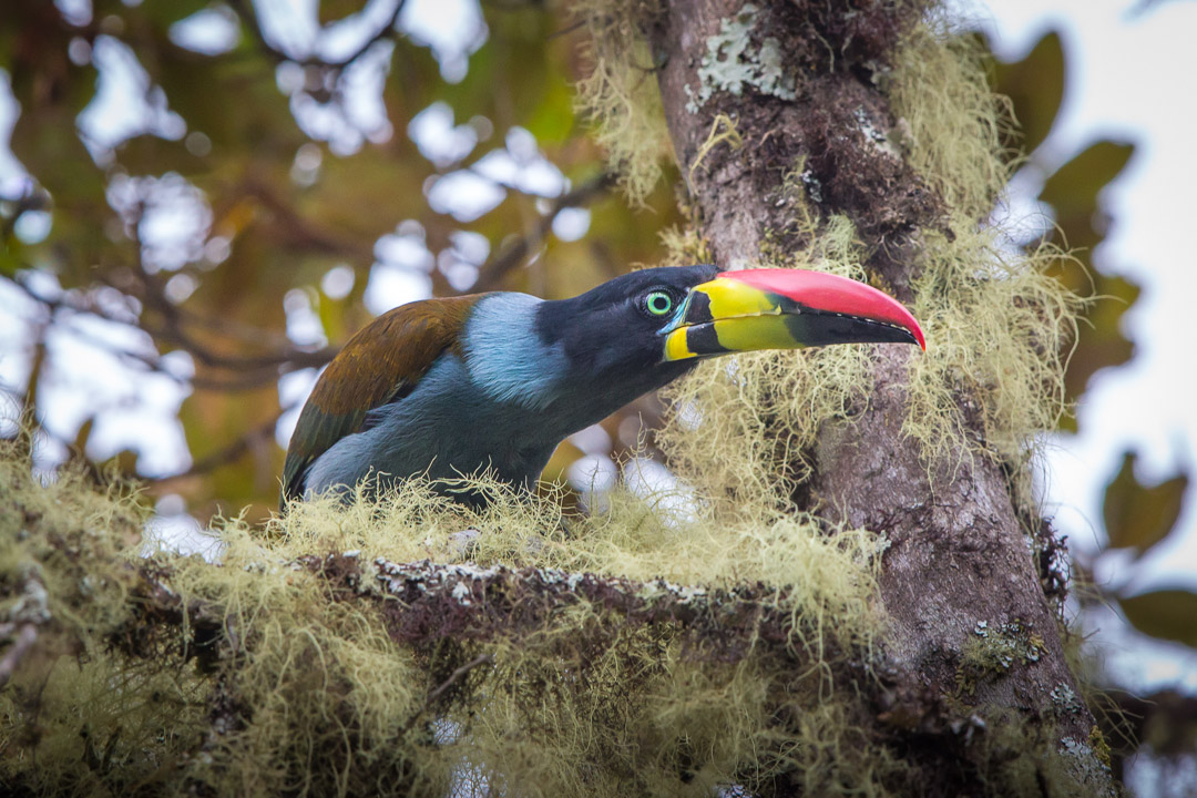 Grey-breasted Mountain Toucan