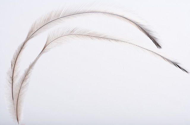 Emu feather