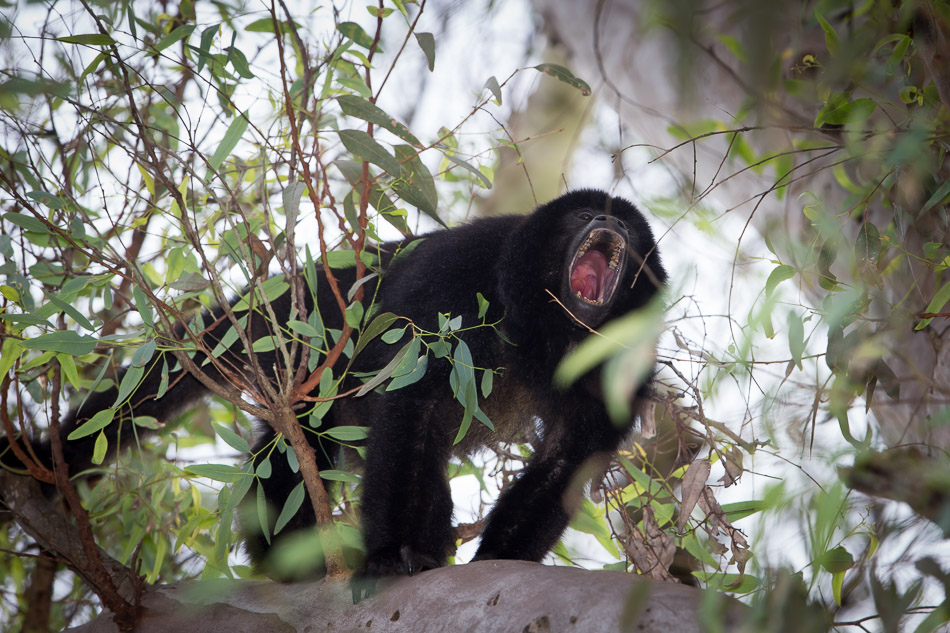 male Howler calling