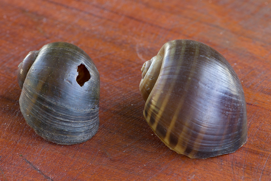 Snail shells to show how the snail kite ahas punctured the shell to extract the snail