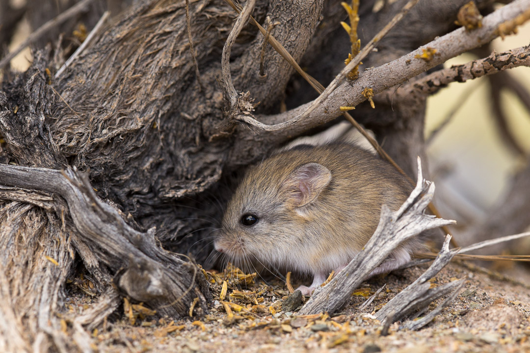 tiny rodent-1