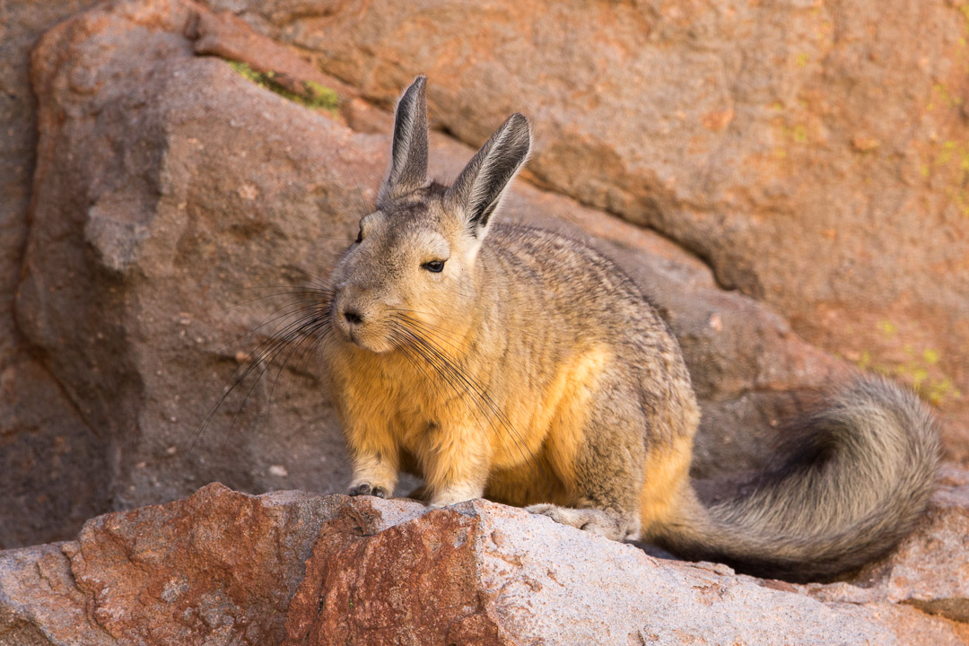 Mountain Viscacha, Susques, Argentina.