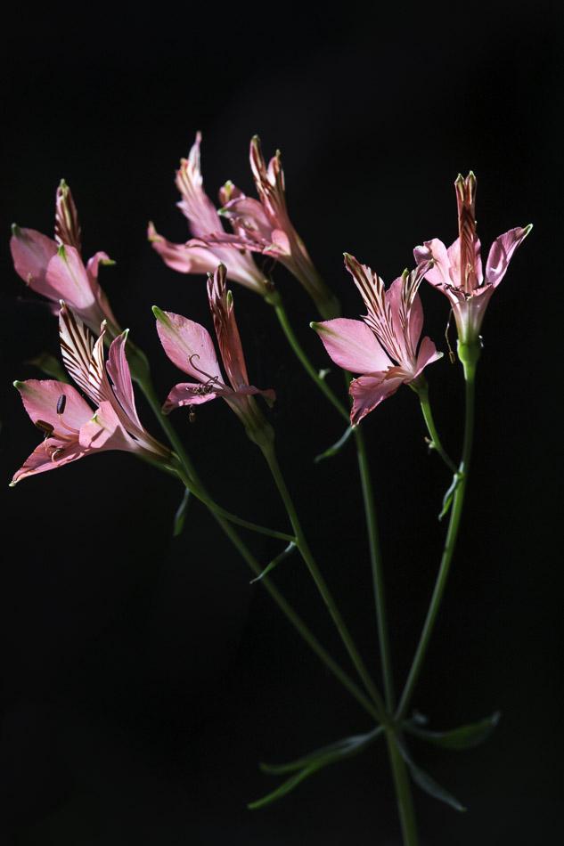 Lily of the Incas, woodland, Laguna Torca, Chile.