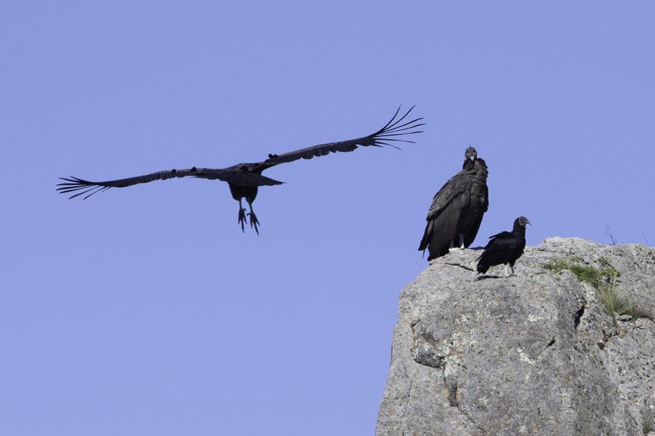 Condor 13-1