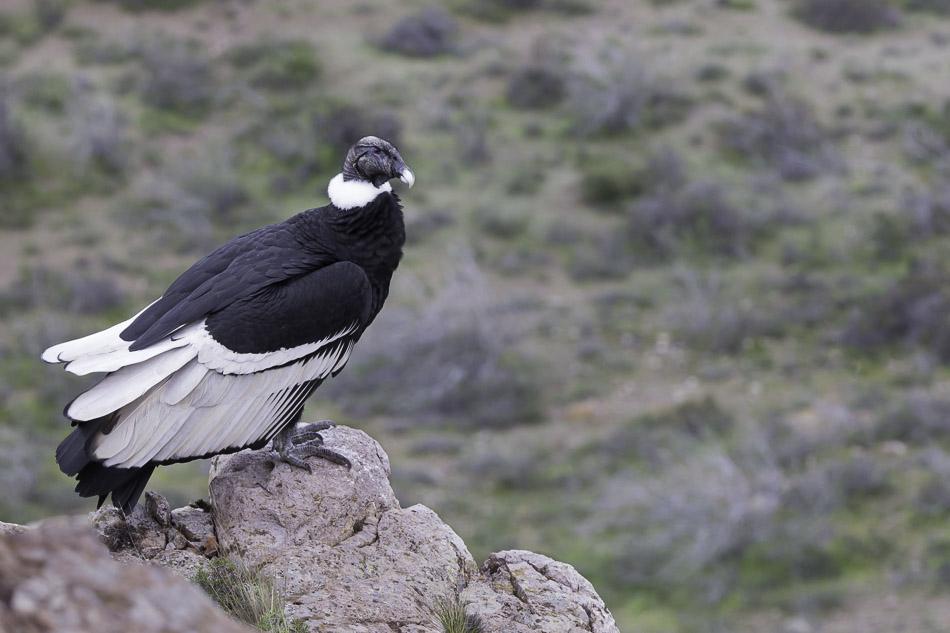 Andean Condor, Patagonia, Argentina.