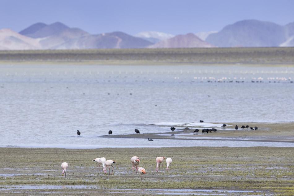 James's Flamingo and Giant Coots, Laguna Blanca.