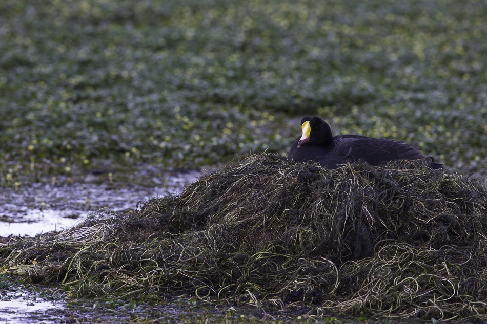 Giant Coot on nest, high andean marsh, Chile.