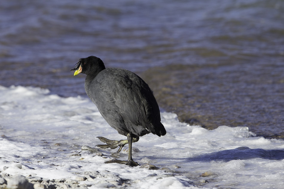 Horned coot -6