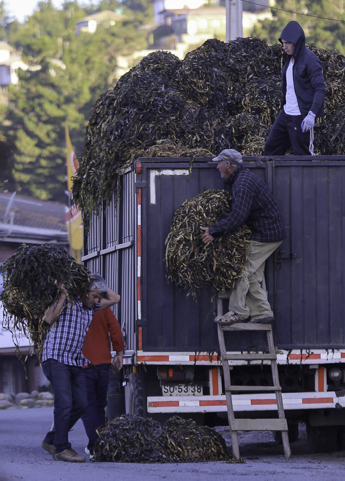 Loading seaweed onto a truck, Boyeruca, Chile,