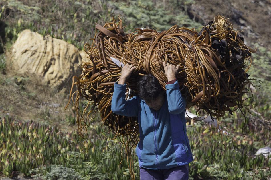 Carrying seaweed, La Boca, Chile.