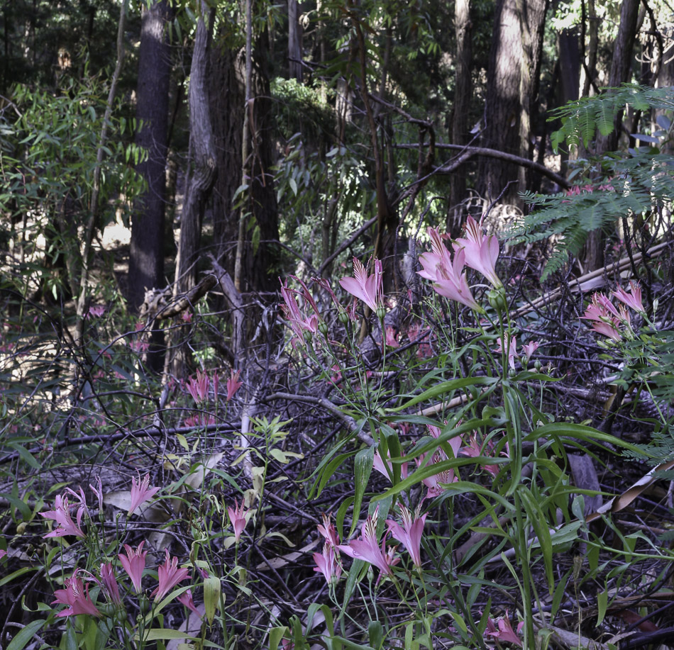 Inca Lily in woodland, Laguna Torca National Park, Chile.