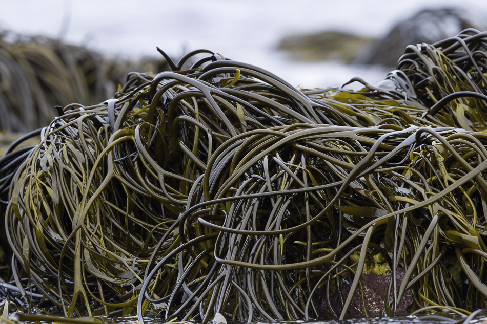 seaweed -6