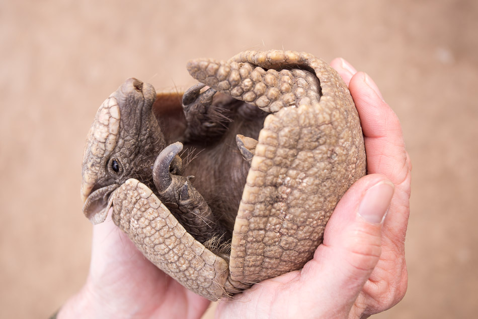 Armadillo in hands-1