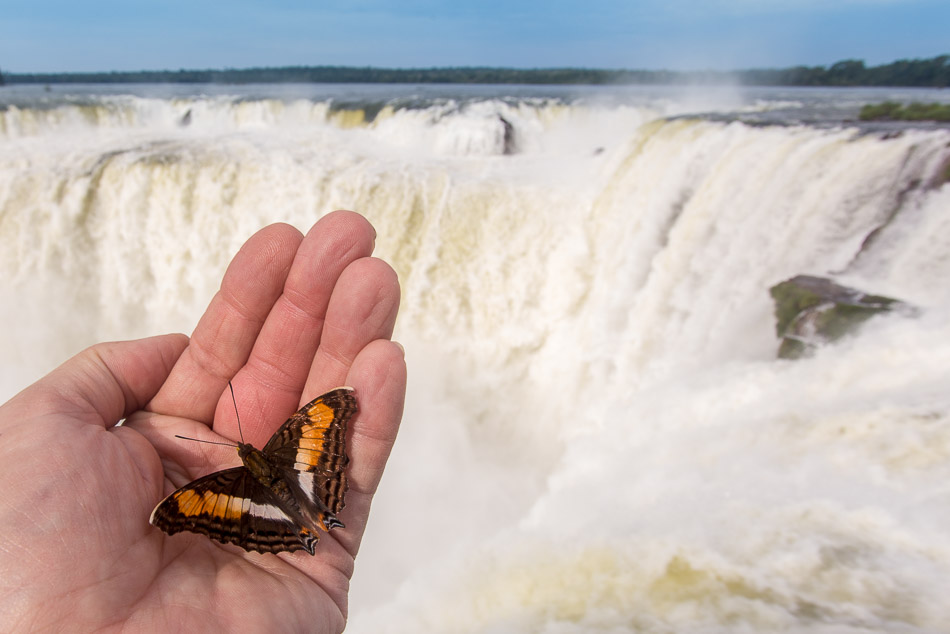 Iguazu butterfly