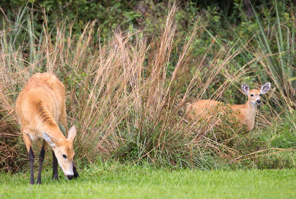 Marsh Deer 1-1