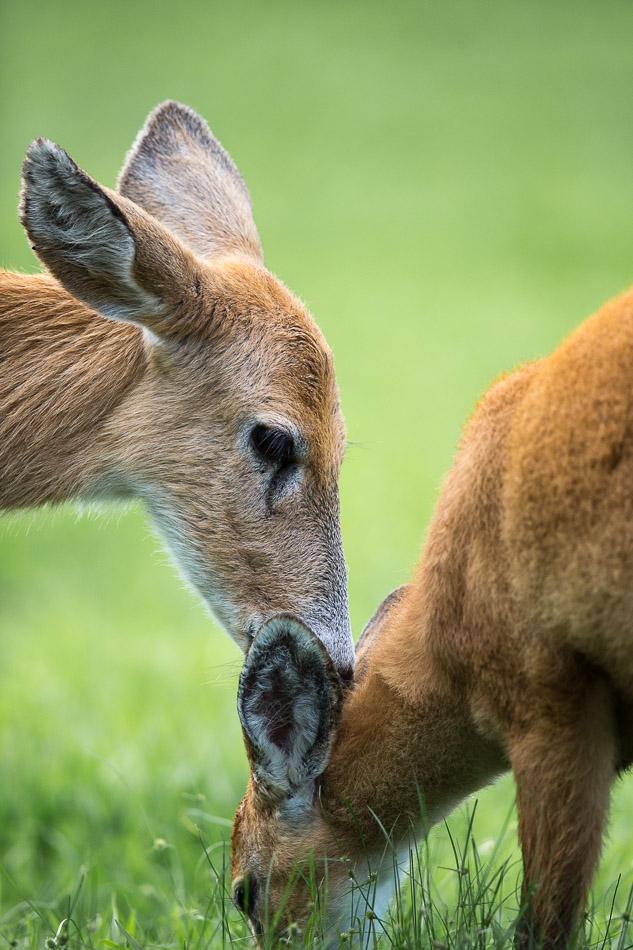 Marsh Deer 2-1