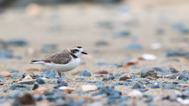 16x9 widescreen images, Snowy Plover