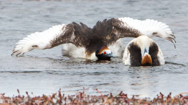 Hooded Grebe courtship