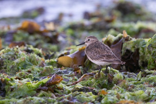 Baird's sandpiper one of the migrants from Canada