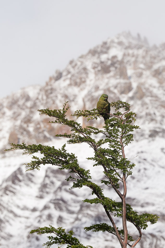 A parrot of Patagonia the Austral Parakeet