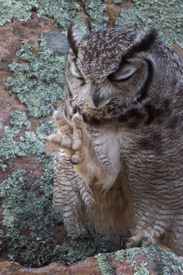 Talons of a Great Horned Owl