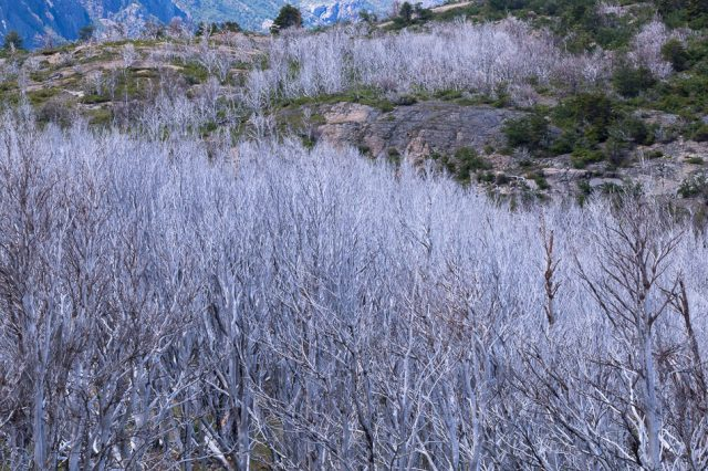 Silvery forests